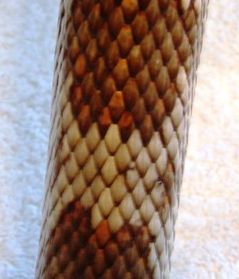 Florida Pine Snake Scale Patter (Keeled scales)