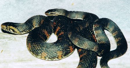 Florida Water Snakes: non-venmous (female & Male)
