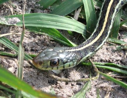 Non-Venomous: Garter Snake. Notice the vertical stripe running down it's back.