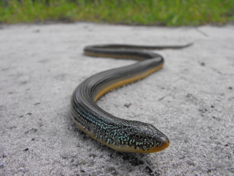 Legless Lizard aka-Glass-Snake, photo by Greg K. HARMLESS