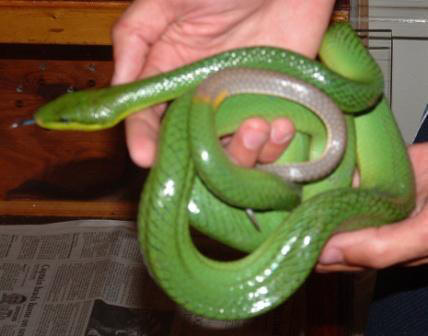 Greg holding a beautiful Red-Tailed Green Rat Snake: non-venomous