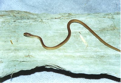 Ribbon Snake: non-venomous (Notice the vertical stripe that run along the sides of the snake).