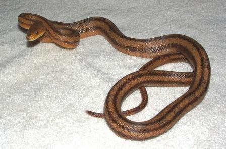 Adult Yellow Rat Snake- Nonvenomous, notice the vertical stripes. Get up to 7ft long.