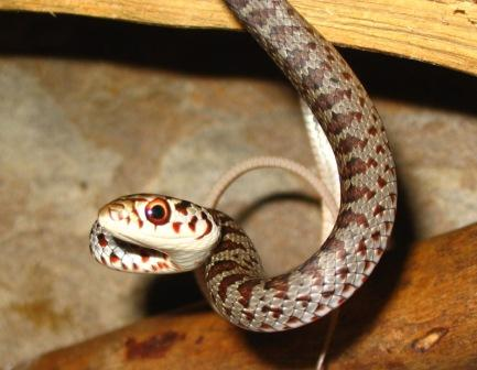 Baby Black Racer Snakes Pictures http://www.snakeeducation.com/Snake%20Photos%20for%20all.htm