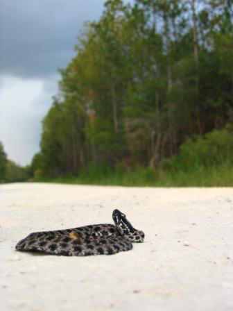VENOMOUS: Dusky Pigmy Rattle Snake (notice how it spreads it's body out to look bigger)