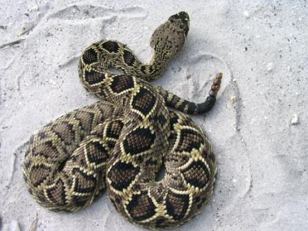 VENOMOUS: Top view of an Eastern Diamondback Rattle Snake