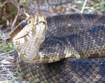 VENOMOUS: Florida Water Moccassin (often mistaken for other snakes)