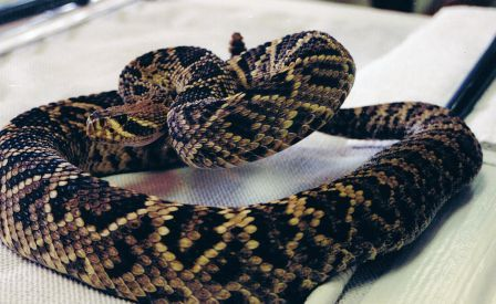 Eastern Diamondback Rattle Snake: VENOMOUS