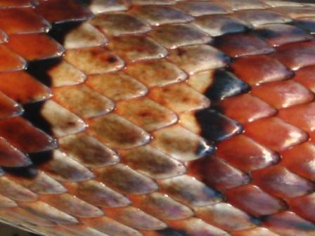 Corn Snake-Red Rat Snake scale pattern