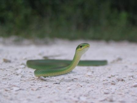 Rough Green Snake: non-venomous