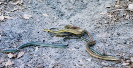Variety of Garter Snakes: Non-Venomous. All have vertical stripes